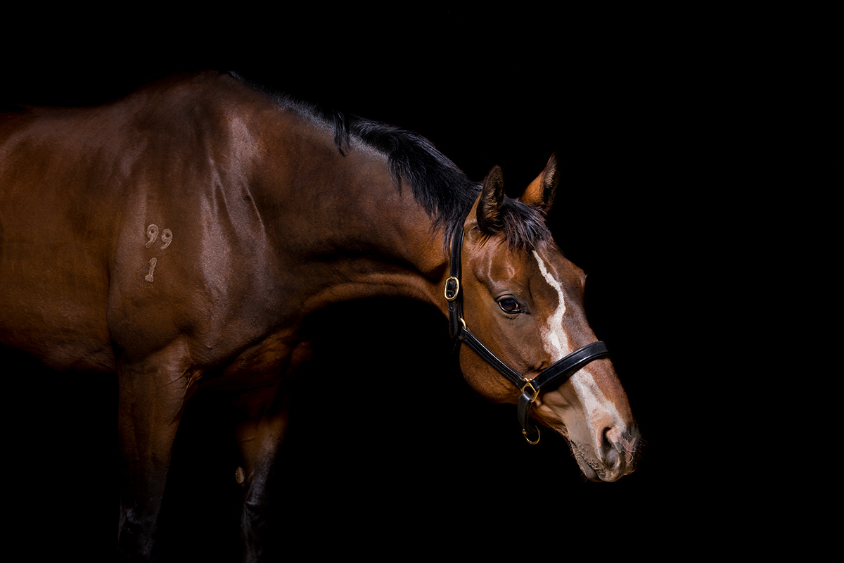 Thoroughbred horse on a black studio photography background by Bunbury horse photographer Michelle Wrighton Photography