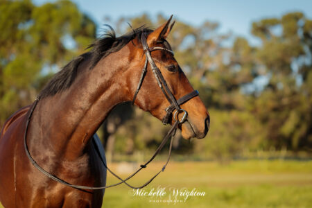 Bay warmblood horse photograph