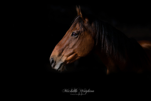 Studio lighting portrait of a bay horse on a black background